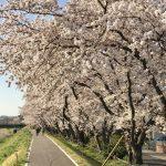 今年も島田電機の前の桜並木は、美しい桜が見事に咲き誇り、思わず立ち止まって見とれてしまうほどでした。桜と新緑で色づいた浅川の土手は、心癒される素晴らしい景色です。また来年の島田電機の桜の季節が楽しみです。
